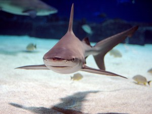 More likely to die from shark attack